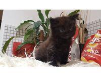 Beatiful Kitten for Sale