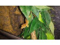 Harlequin crested Gecko babies