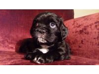 Pug X Cavalier (Pugalier) Puppies. Re-advertised due to cancellation.