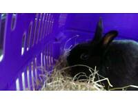 Black male Rabbit