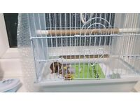 Goldfinch hen for sale