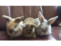 Adorable Mini Lops