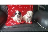 beautiful poochon puppy for sale 1 white and black markings boy avaliable
