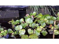 Water Hyacinth plants for sale