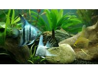 Angelfish, Guppies, Zodiac Loach and Columbian Tetra for Sale