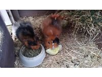 Two boys guinea pigs with indoor cage and summer house