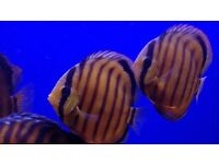 6 WILD DISCUS FOR SALE
