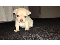 Chihuahua Smooth Coat Puppy-KC Registered
