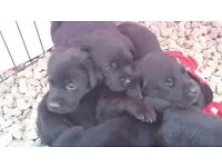 Black labrador puppies. Ready now.