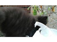 male ultra face persion kitten