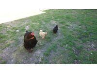 Pekin bantam chicks