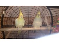 Pair cockatiel parrot with large cage