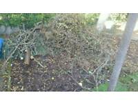 Free Wood/branches for Bonfires need gone soon as possible