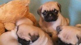 pug.fawn pug puppies kc reg . we are now ready to leave