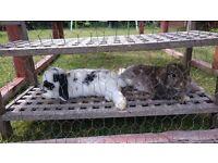 Mini lop ear rabbits