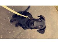 Puppy for sale (Springer spaniel, collie, Doberman cross)