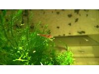 Red Cherry Shrimp x12