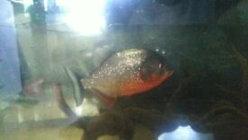 red belly piranhas for sale
