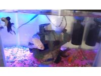 4 gold fishs& a fish tank with full accessories