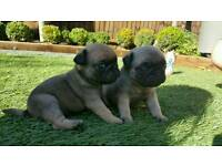 Kc reg Pug pups (stunning) 2 girl availible