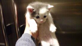 British blue /BSH kittens