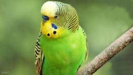 A Pair of Budgerigar & Cage