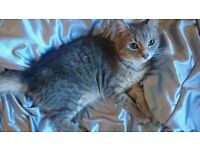 Grey tabby female cat for sale