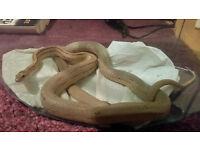 ghost corn snake for sale-Croydon