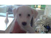 Boy Puppy (Jacky Bichon)