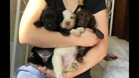 3 Gorgeous Sprocker (Cocker x Springer) Spaniel Puppies for sale