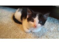 Adorable male kitten 8 weeks old litter trained