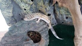 Male & Female Leopard Geckos (4 yr old) with exo terra vivarium 60x45x45 plus thermostats, hides etc