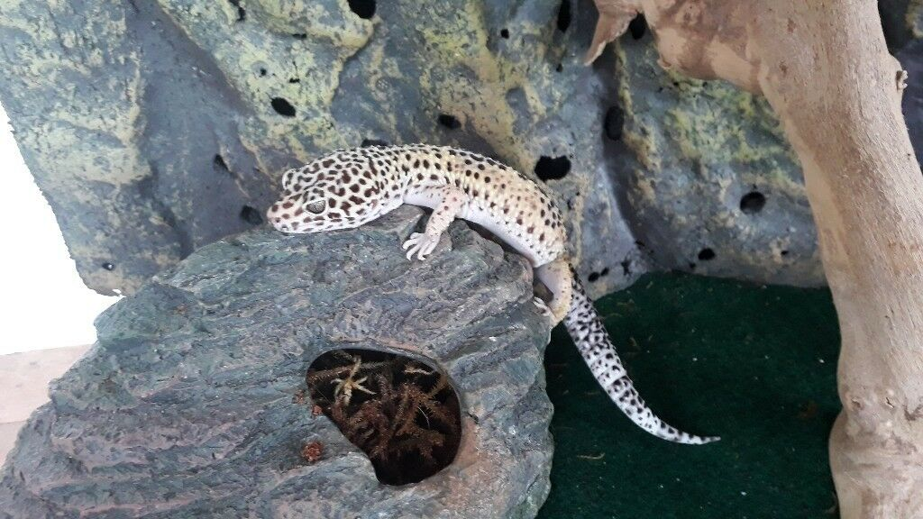 Male Amp Female Leopard Geckos 4 Yr Old With Exo Terra Vivarium 60x45x45 Plus Thermostats Hides