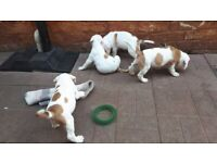 5 Xl American bulldog boy looking a forever new home!