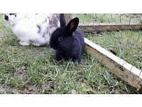 Lionlop baby rabbit boy