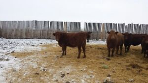Red angus bred heifers