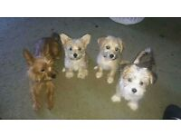 Puppies for sale: Bichon Frise + Chorkie