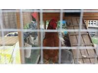 Cocarel chicken