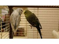 2 Adult male budgies. Blue and white + green