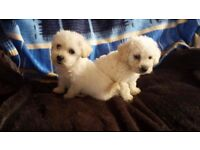 Beautiful miniature poodle x Yorkshire terrier puppies
