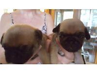 Beautiful Pug puppies