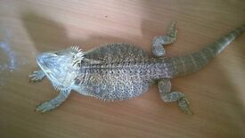 selling 2x beared dragon and viv