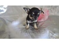 *** PEDIGREE CHIHUAHUA FEMALE PUPPIES FOR SALE ***