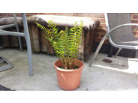 Fern plant great for shade. Garden plants flowers shruds display ornaments furniture table chairs