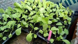HOME GROWN RADISH PLANTS