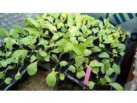 HOME GROWN RADISH PLANTS