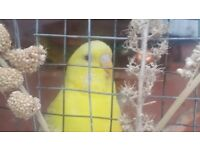 Budgies £15 each ( 2 for £25)