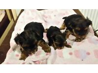 3 Gorgeous Yorkshire Terriers for Sale