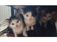 Shorthsired kittens