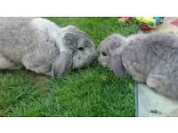 Bonded pair of friendly rabbits